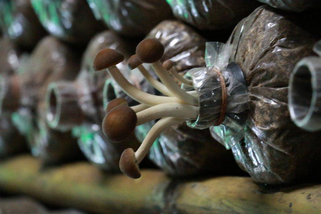 Bang Krachao mushroom farm